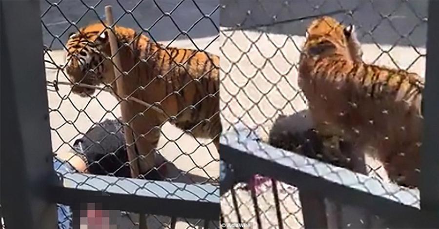 Con hổ bất ngờ tấn công chính người nuôi dưỡng
