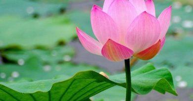 Giải mã giấc mơ thấy hoa sen
