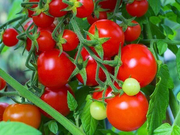 Mơ thấy cà chua là điềm báo điều gì?